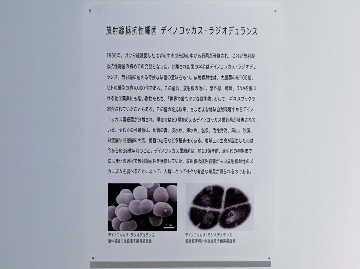 放射線抵抗性細菌 デイノコッカス・ラジオデュランス