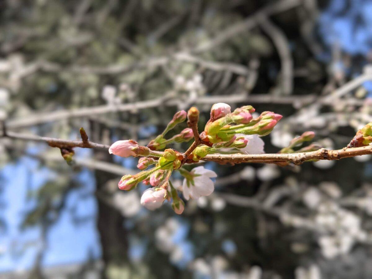 2021年春の桜の蕾